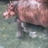 Hippopotamus was born in the zoo - Vietnam